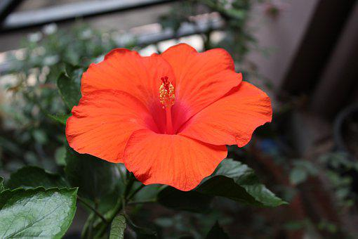 Red, Hibiscus, Flower