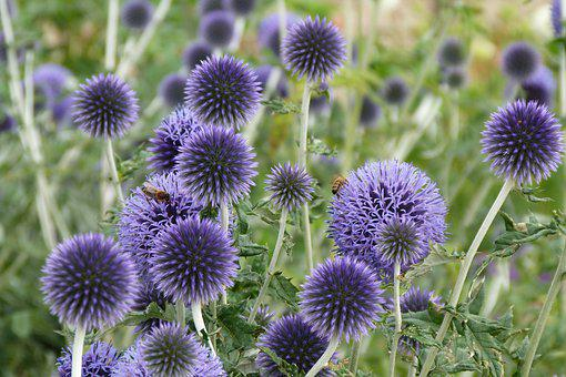 Echinopps, Bees, Insects, Flowers, Summer