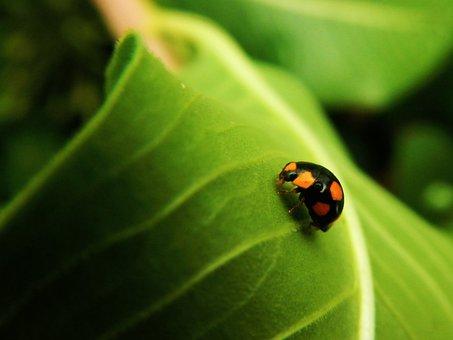 Coquito, Ladybug, Beetle, Nature, Insect, Coleoptera