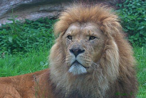 Lion, Zoo, Nature, Cat, Large, Male, Dangerous