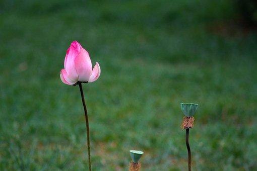 Lotus, Flower, Pink, Petals, Nature, Spring, Blossom