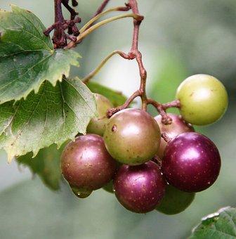 Muscadine, Grapes, Green, Purple, Cluster, Grapevine