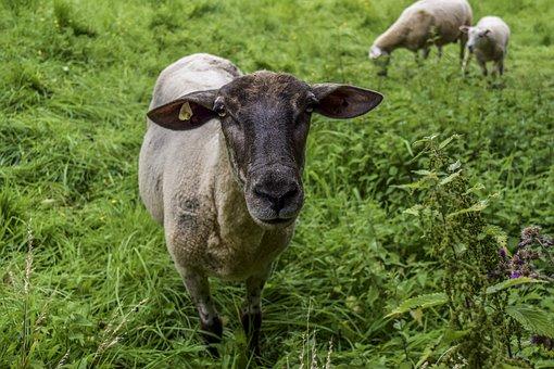 Animal, Sheep, Wool, Cattle, Nature, Landscape, Cute