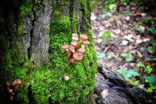 Honey Agaric, Mushrooms, Autumn, Forest, Nature