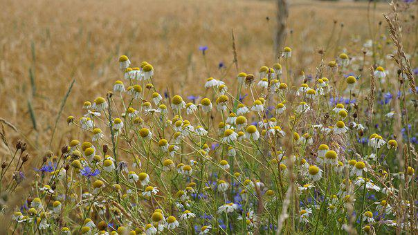 Daisies, Flowers, Field, Nature, Summer