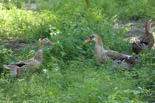 Two Ducks Talking, Greenfield, Grass, Nature