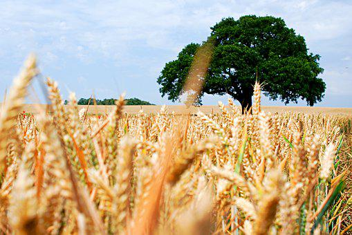 Lone Tree, Wheat, Field, Nature, Tree, Summer, Outdoor