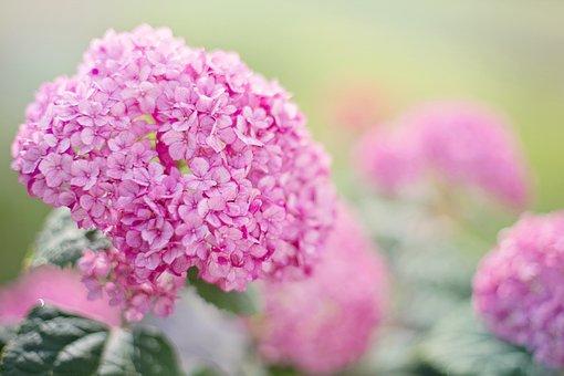 Hydrangeas, Pink, Summer, Hydrangea, Garden, Flowers