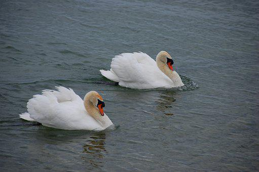 Swans, Water, Swan, Schwimmvogel, Plumage, White
