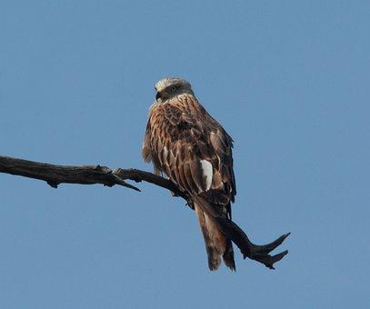 Red Kite, Red Kite Perched, Raptor, Kite, Hunter, Hawk