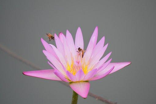 Red Flower, Lotus Flower, Lotus, Pond, Flowers, Nature