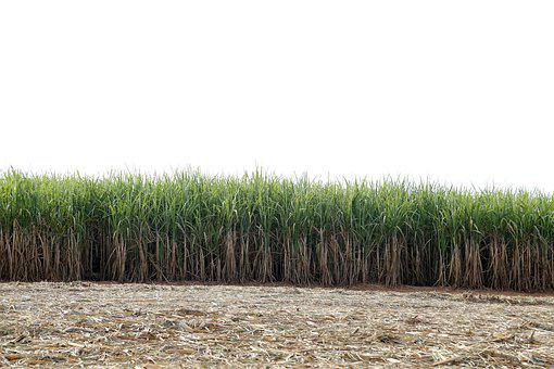 Reed Bed, The Sugar Cane-of-sugar, Crop, Agricultural