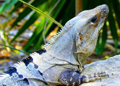 Iguana, Fauna, Reptile, Nature, Animal, Lizard