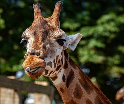 Rothschild Giraffe, Giraffe, Long Neck, Horns