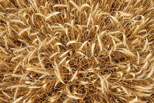Barley, From Above, Cereals, Summer, Field, Rural