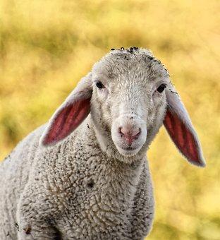 Lamb, Sheep, Cute, Schäfchen, Animal, Nature