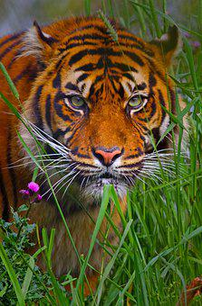 Tiger, Siberian, Predator, Dangerous, Animal, Wildlife