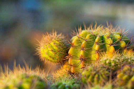 Plant, Spikes, Thorns, Spiky, Needle, Cantus