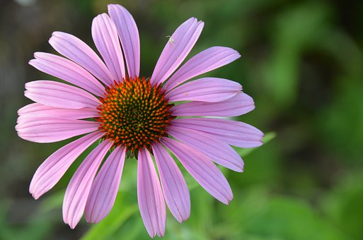 Coneflower, Echinacea, Summer, Flower, Garden, Nature