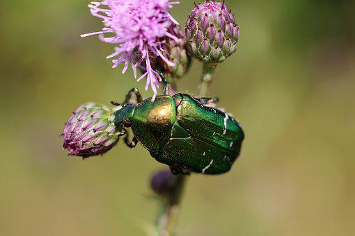 Macro, Nature, Summer, Flower, Insect, The Beetle