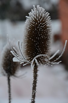Thistle, Frost, Winter, Frozen, Cold, Plant, Hoarfrost