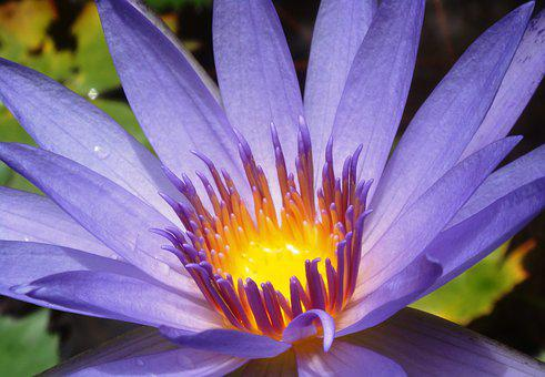 Water Lily, Violet, Nature, Aquatic Plant, Pond, Purple
