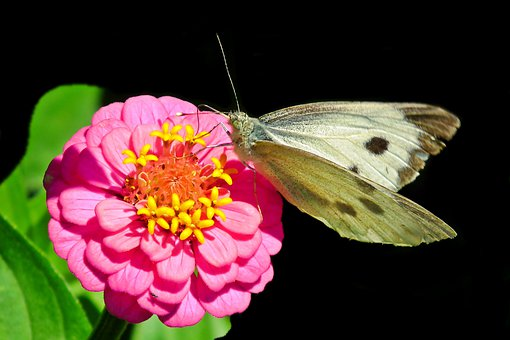 Butterfly, Insect, Flower, Zinnia, Pink, Nature, Wings