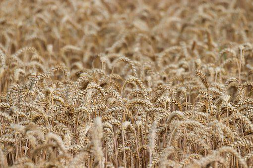 Cereals, Summer, Field, Cornfield, Agriculture, Harvest