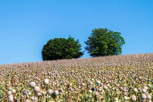Poppy Capsules, Nature, Agriculture, Mohngewaechs