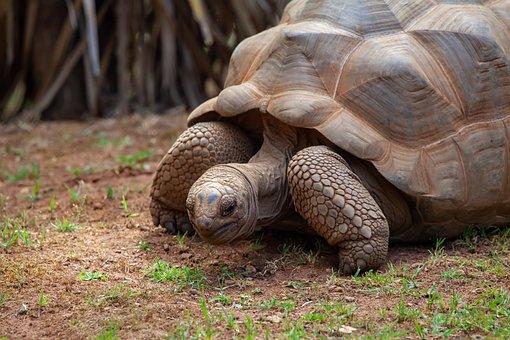 Aldabra Tortoise, Giant Tortoise, Tortoise, Seychelles