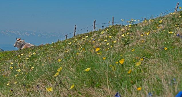 Cow, Alpine Pasture, Fence, Alpine Herbs, Alp, Animal