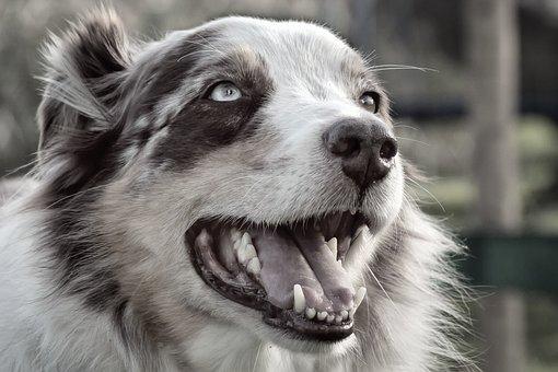Dog, Herding Dog, Purebred Dog, Animal, Pet, Play