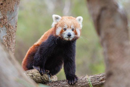 Red Panda, Lesser Panda, Wildlife, Animal, Mammal