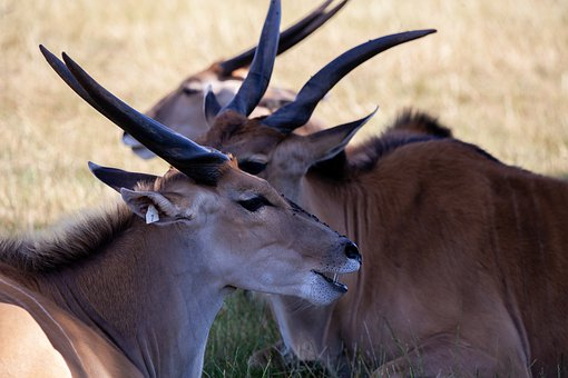 Common Eland, Taurotragus Oryx, Antelope, Eland