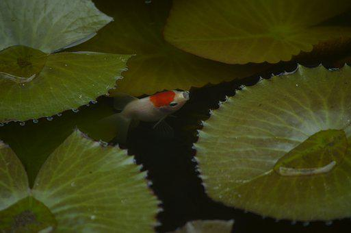 Goldfish, Fish, Aquarium, Water, Exotic, Water Lily