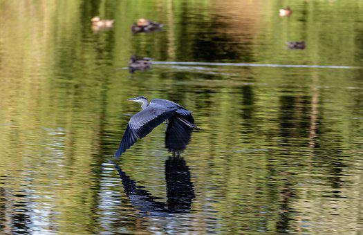 Heron In Flight, Heron, Heron Flying, Bird, Wing