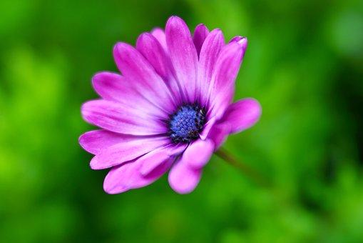 Spanish Margriet, Flower, Pink, Petals, Flora, Bloom