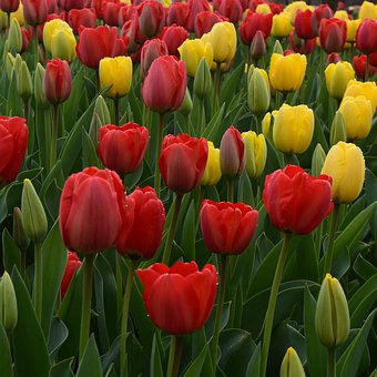 Tulip Field, Yellow, Red Flowers, Bloom, Blossom