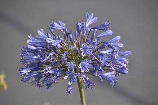 Flower, Agapanthus, Blue Tuberose, Lily Of The Nile
