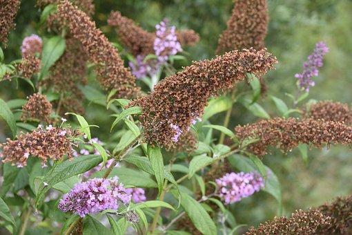Shrub, Butterfly, Faded Flowers, Buddleia Shrub