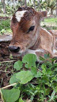 Domestic, Animals, Pets, Calf, New Born Calf