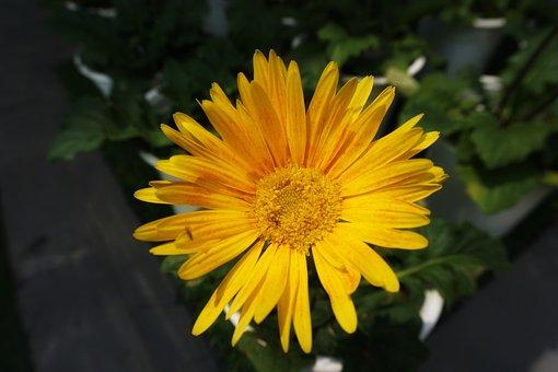 Background, Flower, Sunflower, Morning, Cambodia