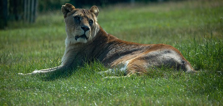 Lioness, Lion, Central Africa, South Africa, Africa