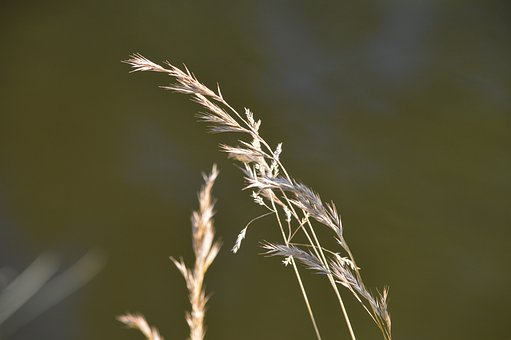 Cereals, Wind, Summer, Harvest, Grain, Nature, Plant