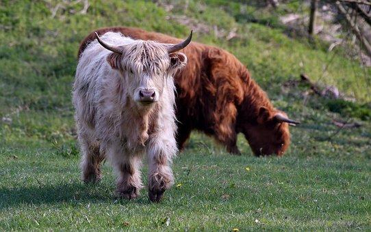 Cows, Scottish Highlanders, Cow, Mammal, Nature