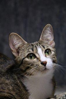 Cat, Animal, Pet, Kitten, Cute, Feline, Domestic