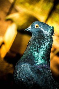 Bird, Pigeon, Dov, Dove, Animal, Wings, Pigeons, Flying