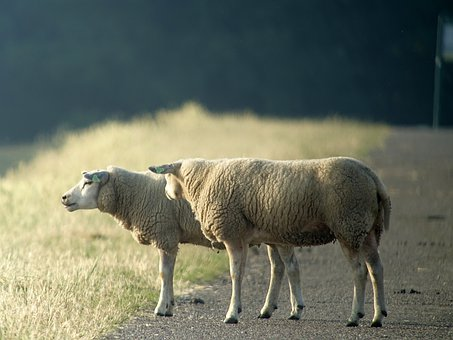 Sheep, Friesland, Dyke, Zeedijk, West Frisian