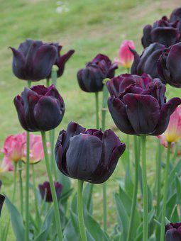 Black Tulip, Flower, Bloom, Flora
