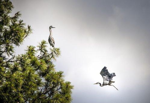 Montana, Heron, Bird Flying, Flight, Flying, Freedom